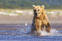 Paula hunts. Kodiak grizzly bear (Ursus arctos middendorffi), Hallo Bay