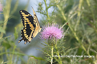 03017-01404 Giant Swallowtail (Papilio cresphontes) on Bull Thistle (Cirsium vulgare) Marion Co. IL