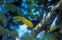 Keel-billed Toucan, Belize