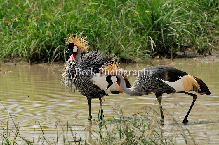 Grey Crowned Cranes hunting for food in Lake Manyara, Africa