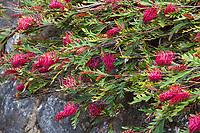 Grevillea 'Austraflora Fanfare' evergreen groundcover shrub