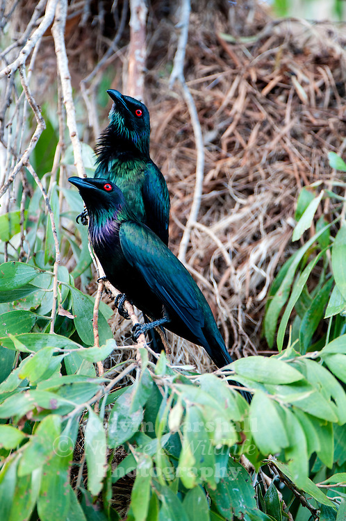 Metallic starlings (Aplonis metallica) also known as shining starling, is a bird in the starling family. It is native of New Guinea and nearby Australasian islands, and a limited area of northeastern Australia. Cairns Far - North Queensland, Australia.