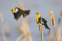 Yellow-headed blackbird flying past a singing blackbird - CI