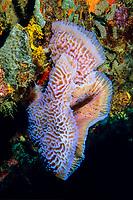 azure vase sponge, Callyspongia plicifera, growing on coral wall, Grenada, Caribbean, Atlantic Ocean