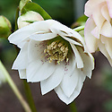Double hellebores (Helleborus x hybridus Ashwood Garden hybrids double), mid March. Bred by  Ashwood Nurseries (of Kingswinford in the English Midlands).