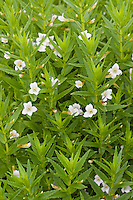 "Gnadenkraut, Gottes-Gnadenkraut, Gratiola officinalis, Hedge Hyssop, Hedge-Hyssop, Common Hedgehyssop, ""Herb of Grace"""