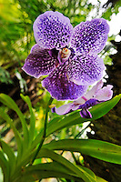 Purple and White Orchids in garden, close-up, Big Island, Hawaii Islands, United States