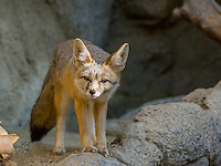 Kit fox (Vulpes macrotis).  Small desert fox found primarily in the American desert southwest.  Sonoran Desert, CA.