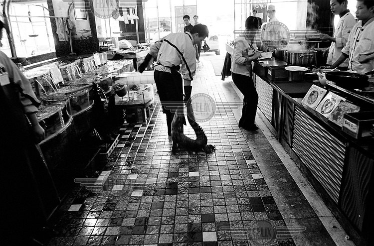 A man drags a live crocodile along the floor of a luxury restaurant. The crocodile will be killed and prepared for lunchtime customers. ..