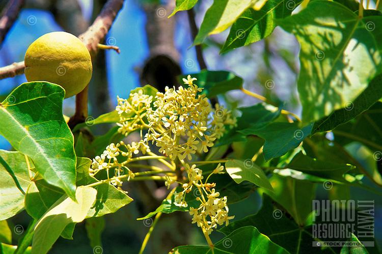 Kukuinut-tree with blossom and nut