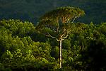 Bulletwood (Manilkara bidentata) tree in semi-deciduous tropical moist rainforest canopy, Mamoni Valley, Panama