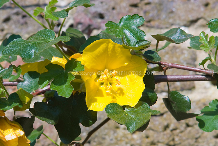 gloryu0027 flannel bush climbing vine in flower yellow blooms - Vining Flowers
