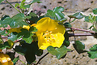 Fremontodendron 'California Glory', flannel bush climbing vine in flower yellow blooms