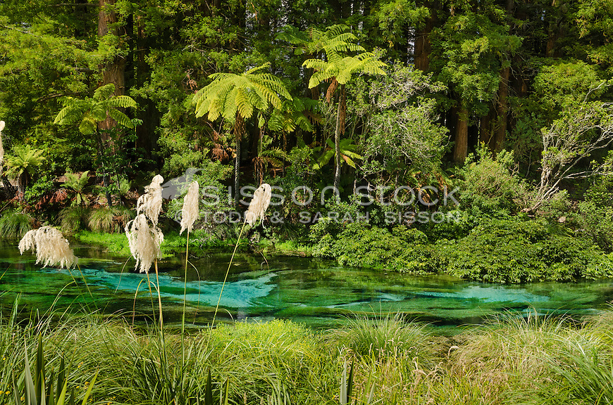 Native bush and Redwood trees along the edge of the crystal clear waters of Hanamura Springs near Rotorua, North Island, New Zealand - stock photo, fine art, canvas print