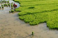 INDIEN Jharkhand, Anbau von Reis, Adivasi Frauen setzen Reispflanzen / INDIA Jharkhand, Adivasi women plant rice
