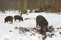 Germany, Arnsberg, DEU, 2005-Mar-07: Wild boars (sus scrofa) burrowing in the snowy ground in the Wildwald Vosswinkel preserve.