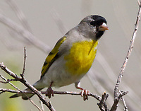 Adult male Lawrence's goldfinch