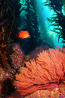 An orange Garibaldi in a Catalina Island reef scene with colorful, delicate coral Cnidarian in the foreground.
