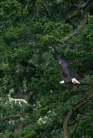 Bald Eagle (Haliaeetus leucocephalus) Flying, Shaw Island, Washington, US