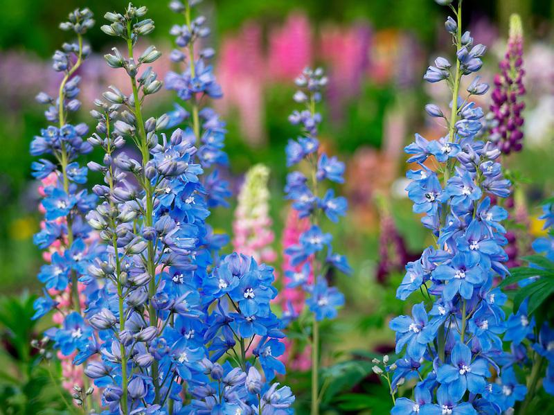 Delphinium. Schreiner's  iris Gardens. Brooks, Oregon
