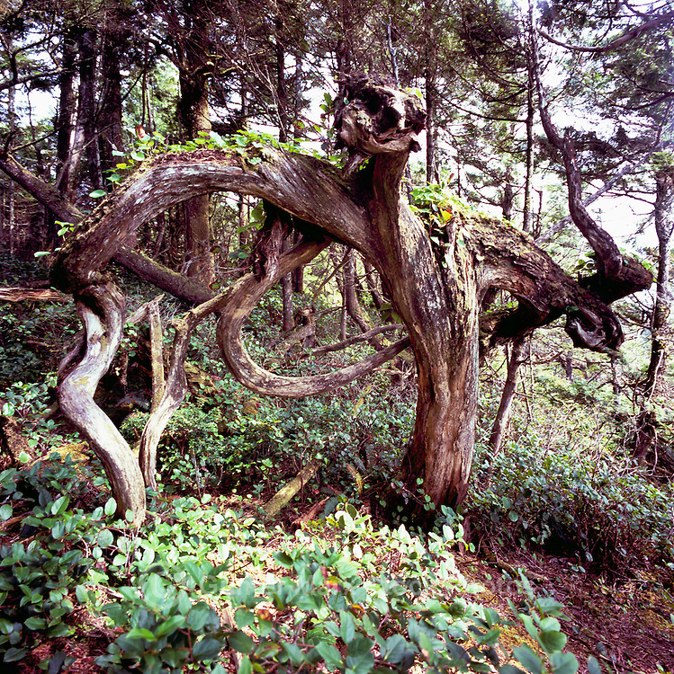 Coniferous Tree deformed by Pacific West Coast Stormy Weather, in Temperate Rainforest on Vancouver Island, BC, British Columbia, Canada - Unusual Tree Formations