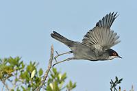 Sardinian Warbler - Sylvia melanocephala