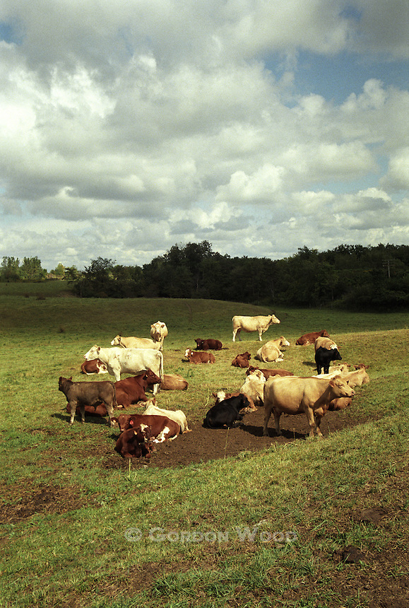 Cattle under Autumn Sky