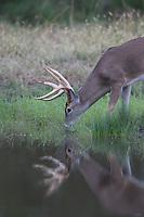 White-tailed Deer (Odocoileus virginianus), buck drinking, Texas, USA