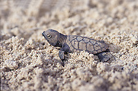 Hawksbill turtle hatchling<br />