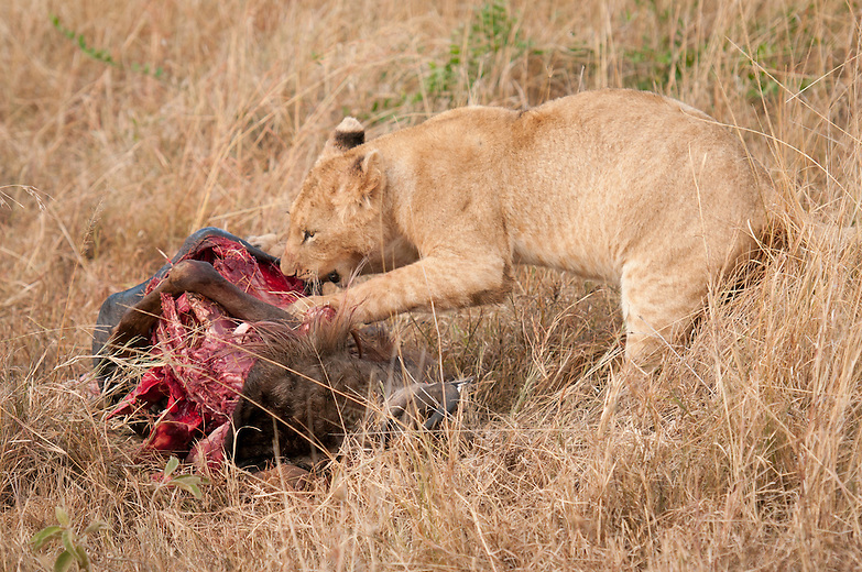 In the Mara-Serengeti plains the most  favorable kill for lion is gnu and zebra. Cubs' chances of survival are enhanced if they are more than six months old and plenty of food is available.  Migration of zebra and gnu is a boon for the young.