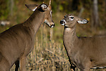 White-tailed buck and doe (Odocoileus virginianus) fighting