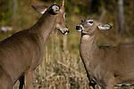 White-tailed buck and doe (Odocoileus virginianus) fighting