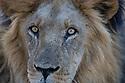 Male Kalahari lion (Panthera leo), portrait, Okavango Delta, Moremi Game Reserve, Botswana