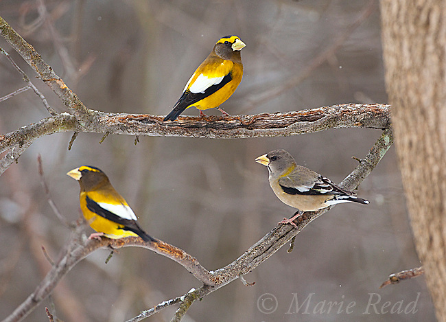 Evening Grosbeaks (Coccothraustes vespertinus), two males, one female, Madison County, New York, USA