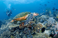 hawksbill sea turtle, Eretmochelys imbricata, critically endangered species, and scuba divers, Raja Ampat, West Papua, Indonesia, Pacific Ocean
