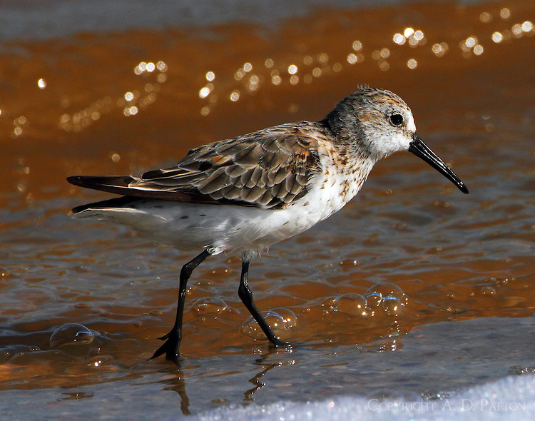 Western sandpiper molting to winter plumage in mid August
