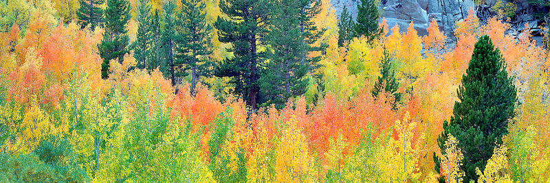 Mixed forest of aspens in fall colors and fir trees. Inyo National Forest. California