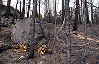 Two young mule deer fawns huddle among the ashes of Colorado's mammouth Hayman fire, where more than 136,000 acres of forest land have burned. The two likely orphans are indicative of the environmental damage caused by the largest wild fire in state history.