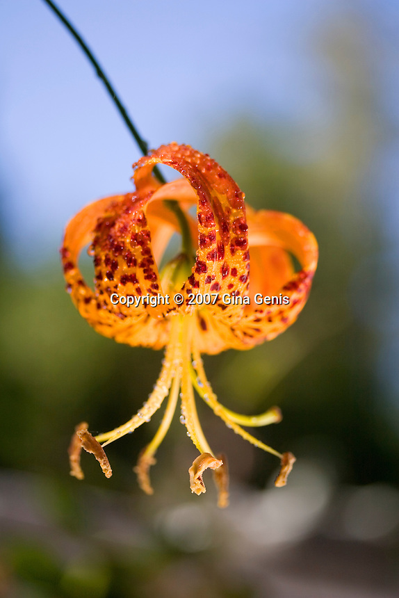 Leopard Lily hanging from vine kissed by reflected light