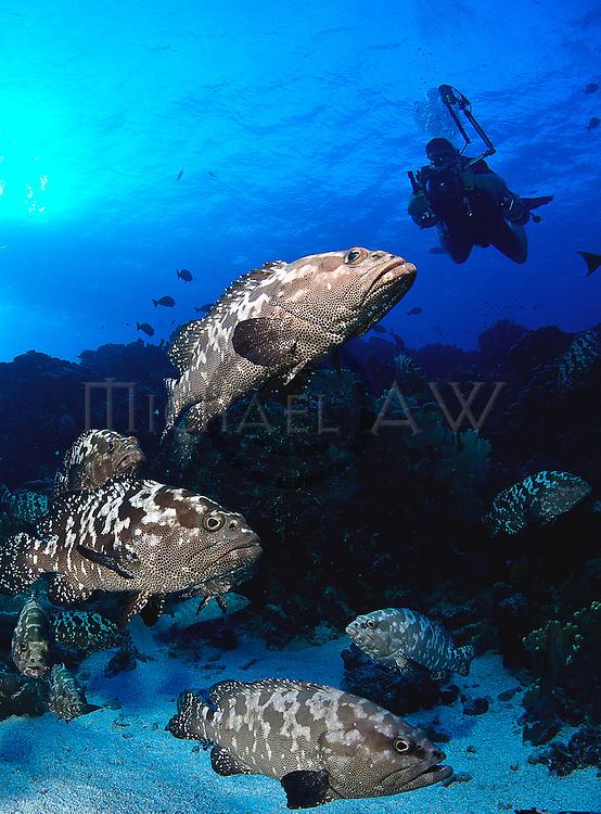Camouflage Grouper pre spawning aggregation Epinephalus polyphekadion, French Polynesia, Fakarava South Passage