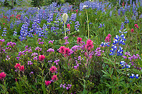 Wildflowers--lupine, heather, paintbrush, valerian and anemone or western pasqueflower--in subalpine meadow, Mount Rainier National Park, WA.  Summer.