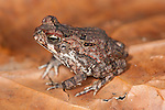 Juvenile Cane Toad, Bufo marinus, Panama, Central America, Barro Colorado Island, on leaf on forest floor