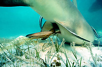 live birth of lemon shark, Negaprion brevirostris, pup emerges tail first, wrapped in chorionic membranes; Bimini, The Bahamas, Atlantic Ocean