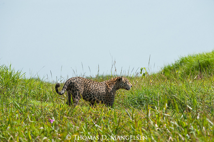 A jaguar walks through the grass along the Corixo Negro River in the Pantanal of Brazil.
