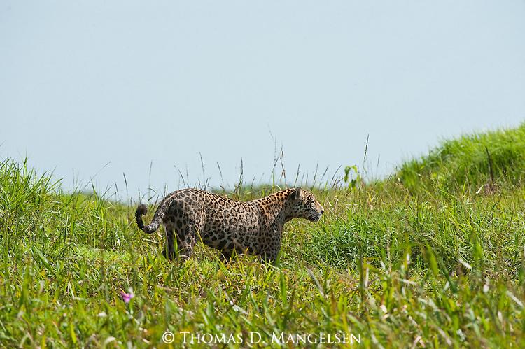 A jaguar walks through the grass along the Corixo Negro River in the Pantanal of Brazil.