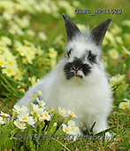 Kim, EASTER, OSTERN, PASCUA, photos,+Young rabbit among Spring primrose flowers.,++++,GBJBWP41623,#e#