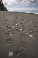 Bear tracks on the beach of the Gulf of Alaska, Pacific ocean coast, Glacier Bay National Park, Southeast, Alaska