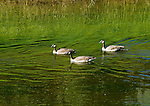 Three young Canadian geese swimming in Myrtle Creek over the summer and getting ready for fall migration