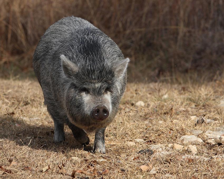 The neighbors hog on the run, in a trespass move :)