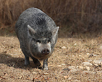 The neighbors hog on the run, in a trespass move :)